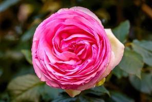 doftande ros i full blomning foto