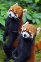 liten röd panda, hotade arter foto