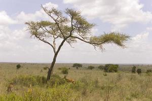ensamt träd i den afrikanska savannen i kenya foto