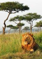lejon - savanne, masai mara nationalreservat, kenya