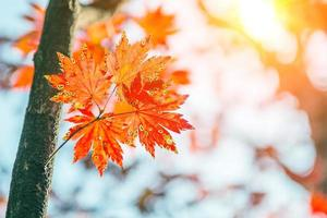 lönnlöv på hösten i Korea. foto