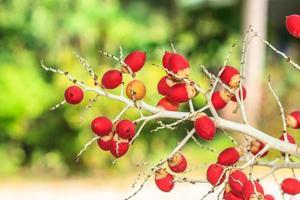 mogen betelmutter eller areca mutterpalm