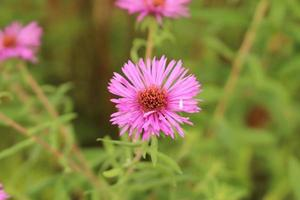 """""""new york aster"""" blomma - aster novi-belgii foto"""