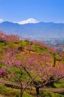 persikaträd och mt. fuji foto