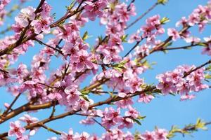 persika blommar