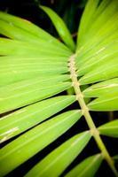 närbild av betel palmblad foto