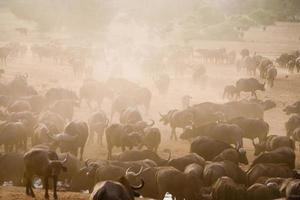buffel i Afrika foto
