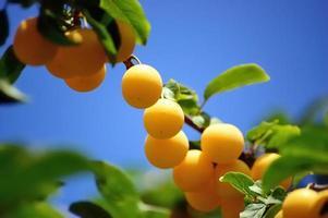 körsbär plommon gren mot blå himmel foto