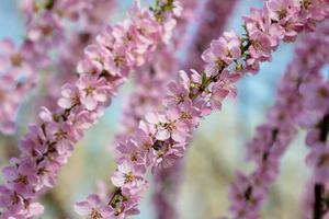 persikoblomma foto