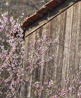 persika blomma