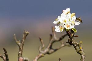 apis på persikaträd foto