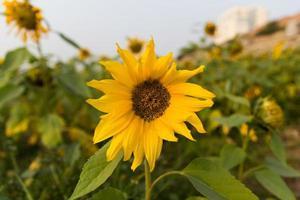 solrosfält foto