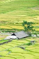 risfält på terrassen vid sapa, lao cai, vietn
