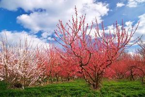 fruktträdgård foto