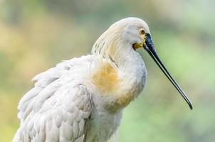 närbild av fågeln, eurasiska skedbotten, platalea leucorodia, i br foto