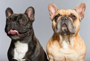svarta och bruna franska bulldoggar tillsammans. roliga hundar. foto