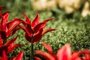 närbild av röda tulpaner foto