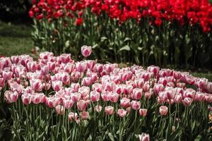 röd och blandning av röda och vita tulpaner foto