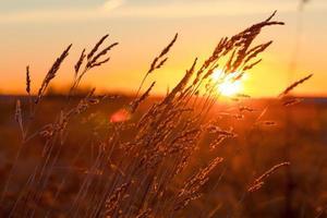 gräs vid solnedgången