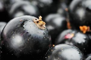 Svarta vinbär foto