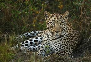 leopardkvinna foto
