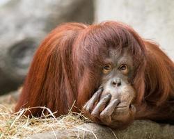 kvinnlig orangutansk porträtt foto
