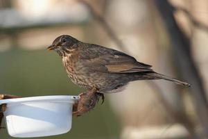 blackbird kvinnlig foto