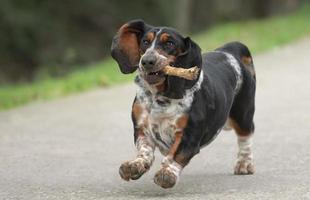 kvinnlig bassethundhund foto