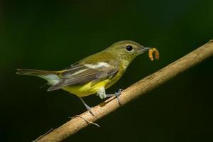kvinnlig gul-rumped flycatche foto