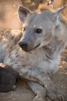 kvinnlig prickig hyena (crocuta crocuta) foto
