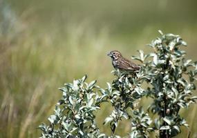kvinnlig lark bunting - grässlättar nationalpark, saskatchewan foto