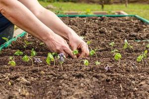 kvinnlig hand som planterar plantor av basilika foto