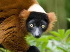 närbild av en röd ruffed lemur foto