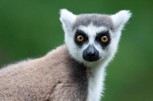 porträtt av en catta lemur foto