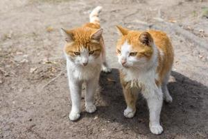 två vackra ingefära röd katt foto