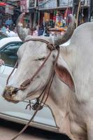 ko på gatan i Delhi foto
