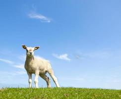 vårbild av ett ungt lamm foto
