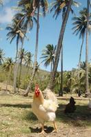tropisk kyckling foto
