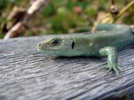 grön ödla foto