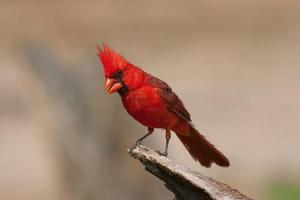 norra kardinal foto
