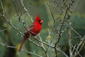 manlig kardinal i taggigt träd foto