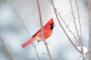kardinal uppflugen i ett träd foto