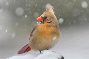 kardinal i snö foto