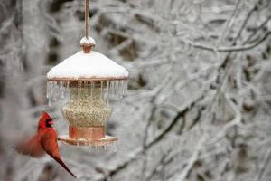 kardinal på vintern foto