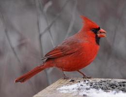 norra kardinal äta foto
