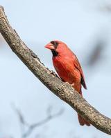 manlig kardinal foto