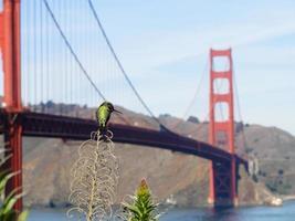 kolibri och gyllene gate bridge foto