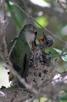 kvinnlig Anna kolibri som matar två kycklingar foto