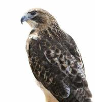 röd-tailed hawk isolerade foto