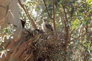 baby cooper's hawk foto